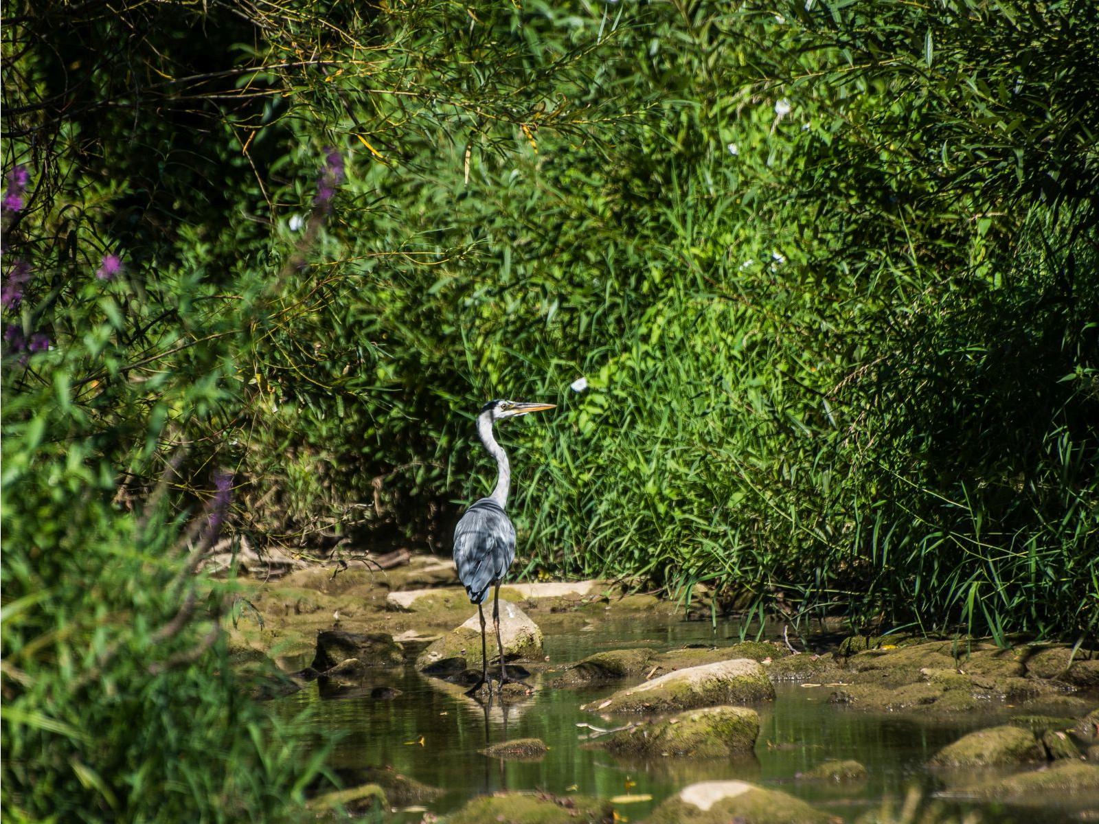 Der Graureiher sucht an einer flachen Stelle nach Nehrung