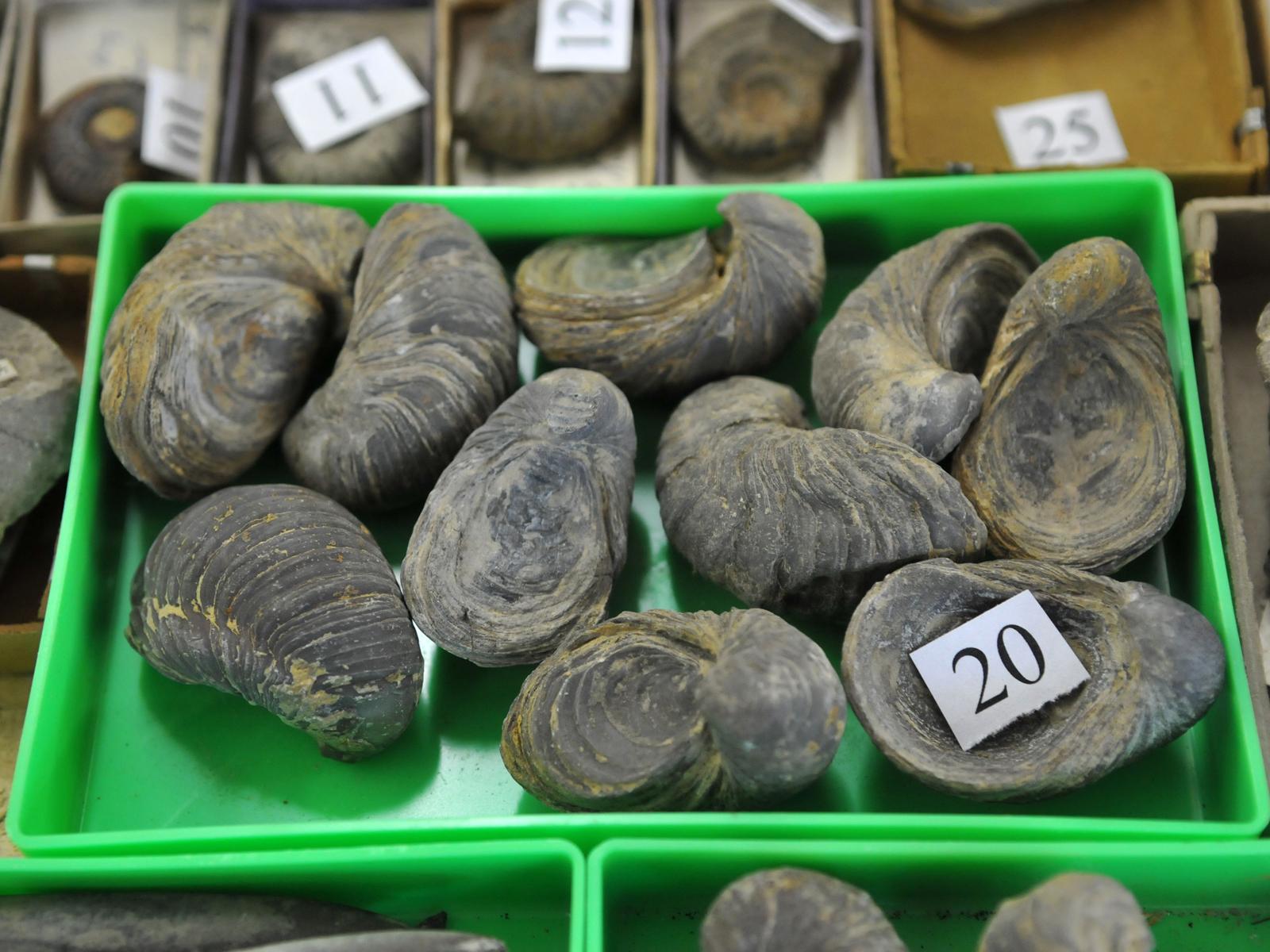 Es wurden auh zahlreiche Versteinerungen anderer Meerestiere gefunden
