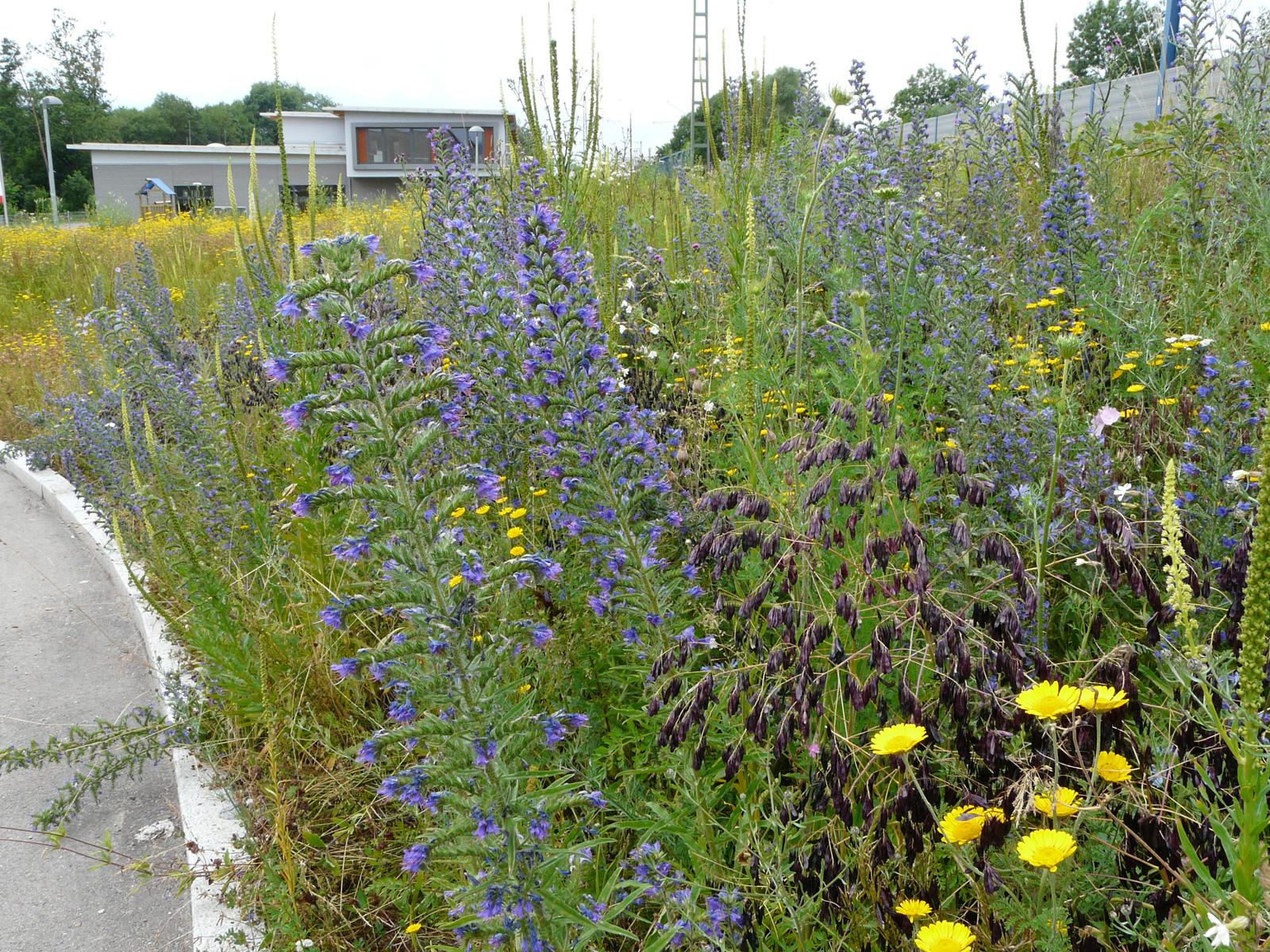 Blühstreifen an der Osttangente (südlich der Bahnlinie) nach der Pflanzaktion für Hummeln, Bienen und Co