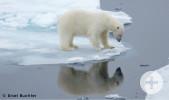 Eisbär auf Nahrungssuche