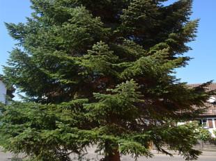 Eine große freistehende Tanne in einem Garten in Eislingen