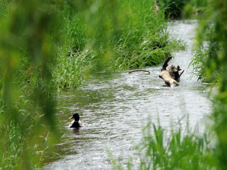 Eine Ente auf dem Fließgewässer Krumm in Eislingen