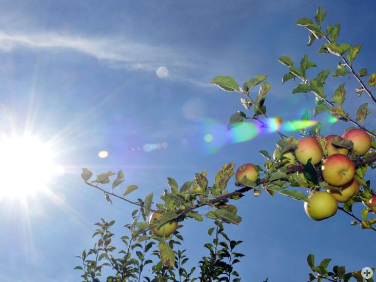 Reife Äpfel im Herbst