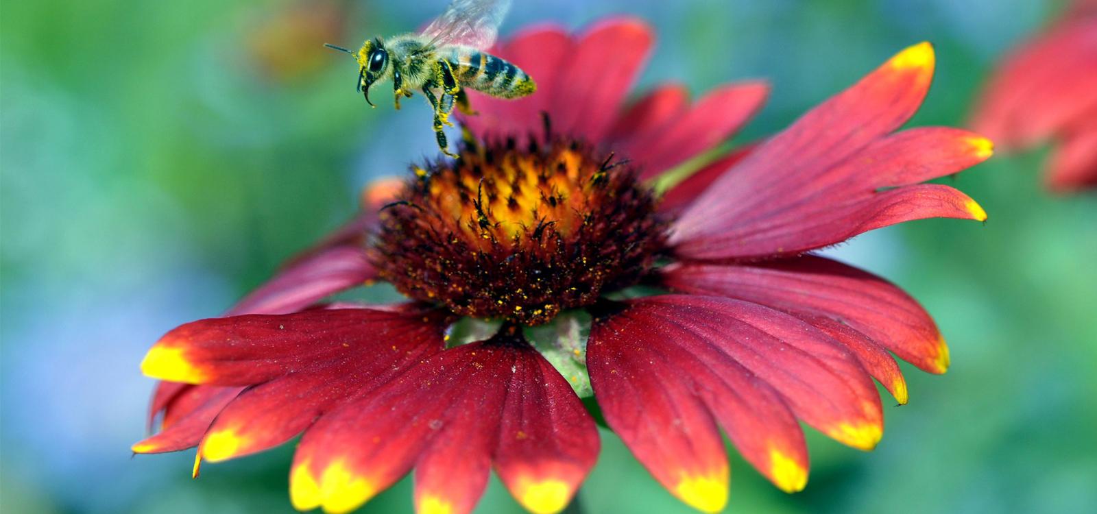 Insekt beim Anflug auf eine Blüte