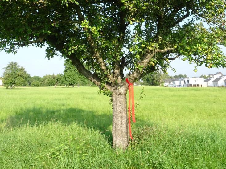 Ein Obstbaum auf einer Wiese. An einem Ast hängt ein rotes Band.
