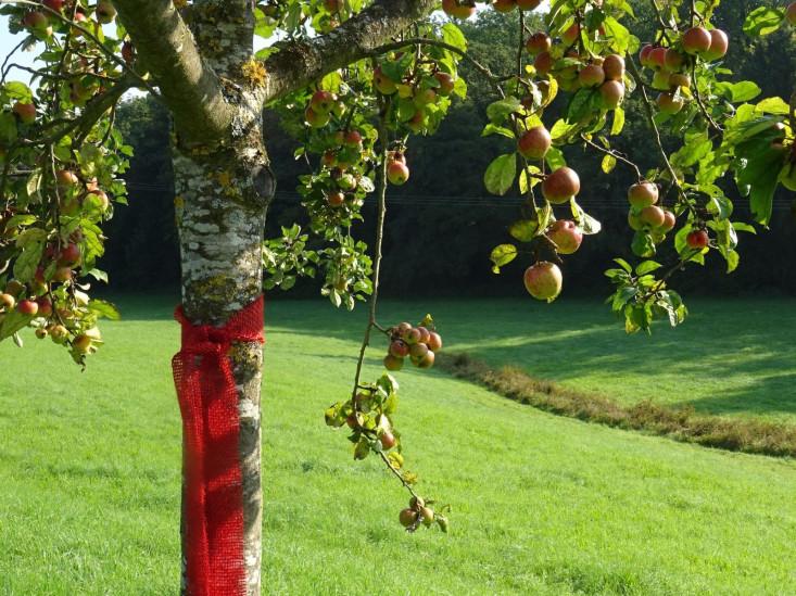 Apfelbaum mit roten Äpfeln und einem roten Pflück-mich-Bändel